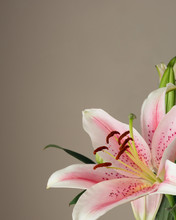 Pink Oriental Lily.