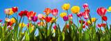 Fototapeta Tulips - Tulpen im Frühling