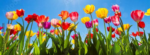 Foto op Plexiglas Tulp Tulpen im Frühling