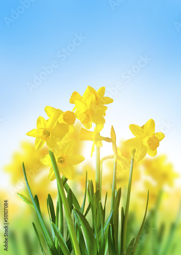 Deurstickers Narcis Yellow Daffodils Against a Blue Sky