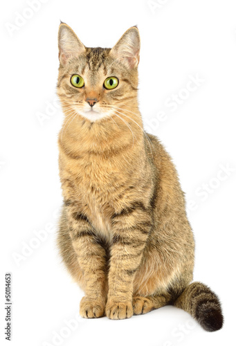 Papiers peints Chat Cat isolated on white