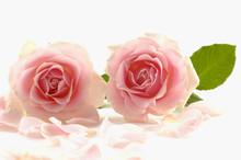 Close Up Of Two Pink Rose Petals