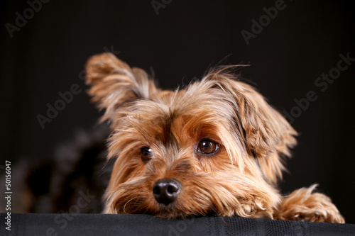 Yorkie dog Wallpaper Mural