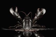 Close Up Of Black Lobster