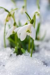 Fototapeta Schneeglöckchen - Snowdrop flowers