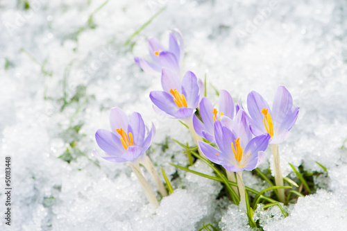 Recess Fitting Crocuses Krokusse im Schnee