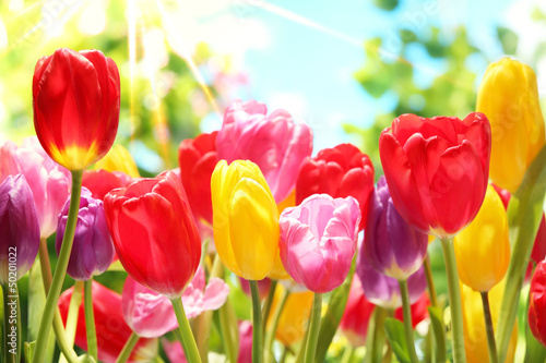 Photo  Fresh tulips in warm sunlight