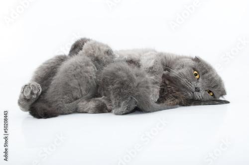 Fototapety, obrazy: family portrait of Scottish fold cats