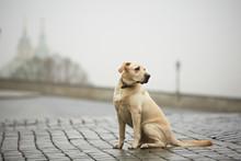Yellow Labrador Retriever Is Waiting On The Street