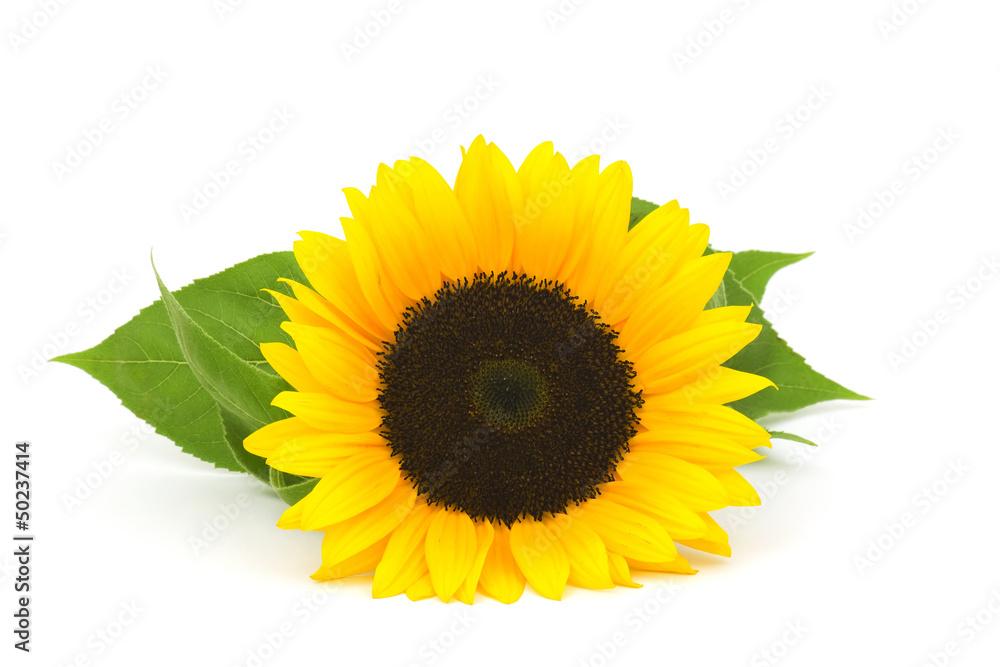 sunflower on white background (Helianthus)