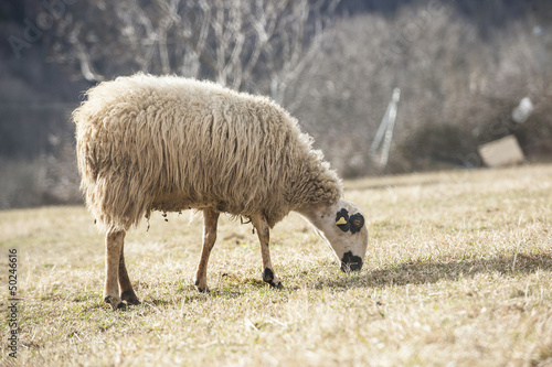 Canvas Prints Sheep Sheep in the pasture