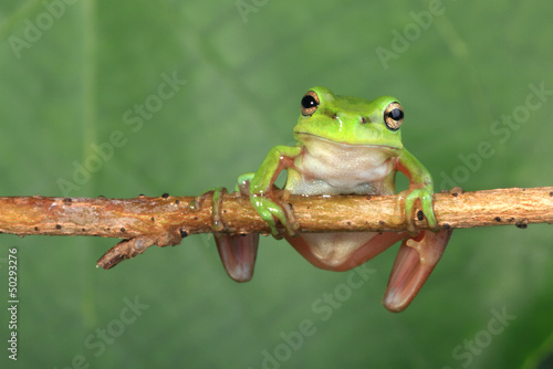 Tuinposter Kikker Green frog on vine