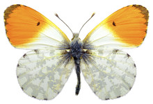 Isolated Male Orange Tip Butte...
