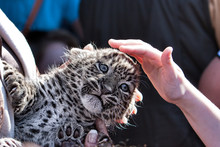 Baptism Young Leopard Cub In Z...