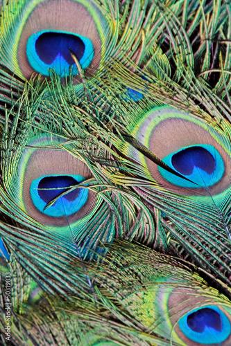 zblizenie-pawie-piora-pavo-cristatus