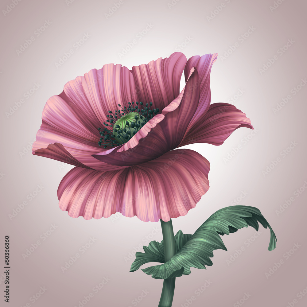 beautiful pink poppy isolated on light background