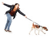 canvas print picture - Parson Jack Russell Terrier dragging his mistress