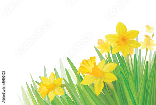 Canvas Print Vector of daffodil flowers isolated.