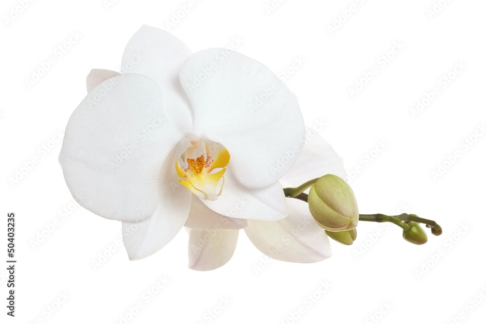 Fototapety, obrazy: White Orchid closeup