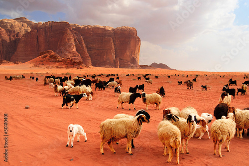 Poster Corail Herd of Bedouin sheep and goats