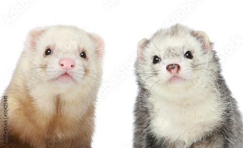 Two Ferrets. Close-up portrait Canvas-taulu