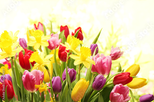 Colorful tulips and daffodils