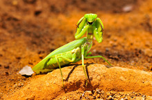 A Praying Mantis Started Fighting.