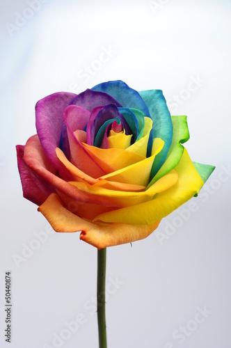 zamyka-up-teczy-rozy-kwiat