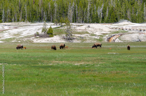 Aluminium Prints bisonti al pascolo nello Yellowstone National Park