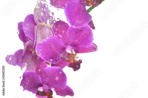 Fototapeta rozmyte różowe storczyki na białym tle obraz