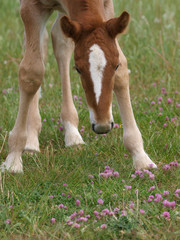 Naklejka na ściany i meble Foal In Flowers