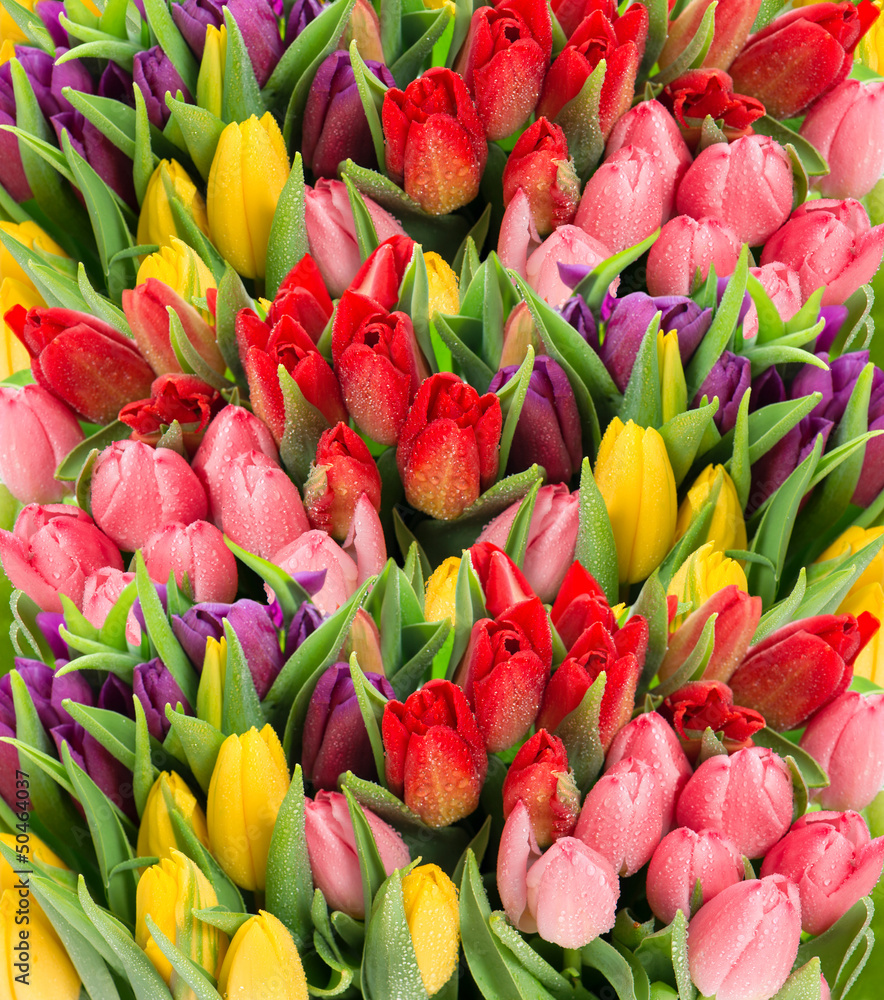 Fototapeta fresh spring tulip flowers with water drops