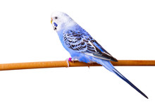 Budgerigar On Branch Isolated ...