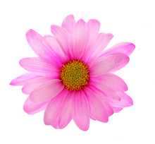 Pink Chrysanthemum Flower Isolated On White