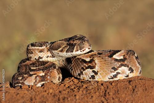 Photo Puff adder (Bitis arietans) snake