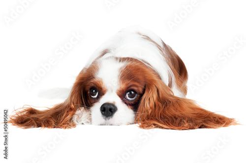 Obraz na plátně cavalier king charles spaniel dog