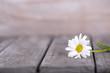 canvas print picture - gänseblümchen