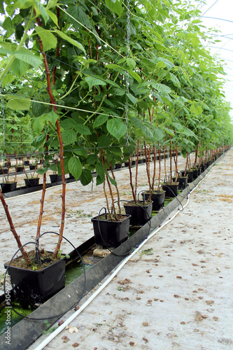 Photo  Growing raspberry in hydroponic plantation