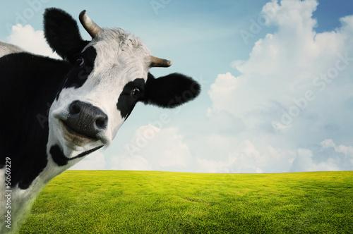 Obraz na plátně Cow