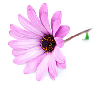 Purple Flower Osteospermum On ...