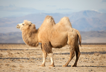 Fototapeta Bactrian camel in the steppes of Mongolia