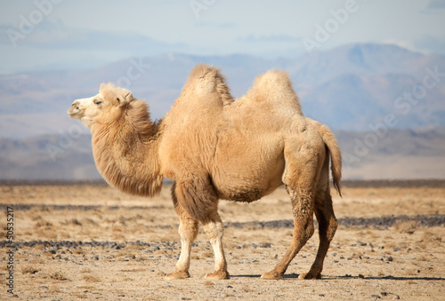 Fotobehang Kameel Bactrian camel in the steppes of Mongolia