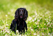 Black English Springer Spaniel Playing In Clover Field