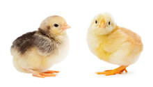 Yellow And Gray Chickens Isolated On A White