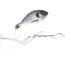 Sea Bream Fish Jumping From Wa...