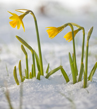 Daffodil Blooming Through The ...