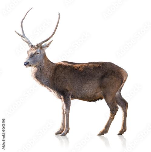 Poster Deer Portrait Of Antelope