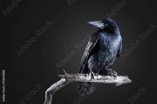 crow Fototapeta