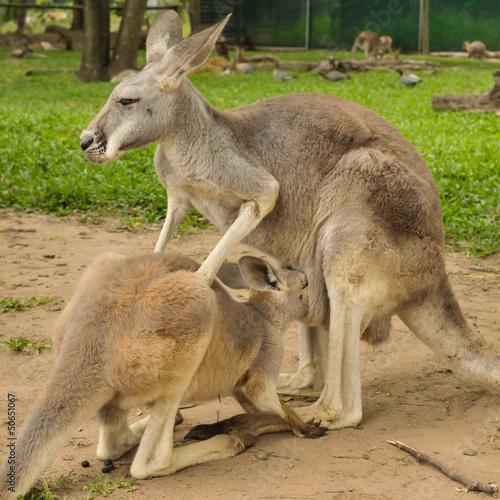 Poster Oceanië Mother kangaroo and her joey