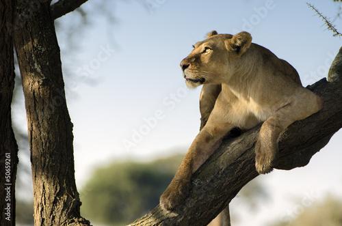 Foto  leonessa sull albero con sguardo al cielo